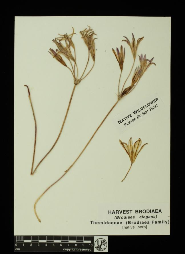Brodiaea_elegans