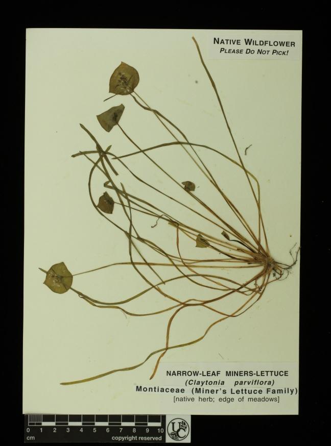 Claytonia_parviflora