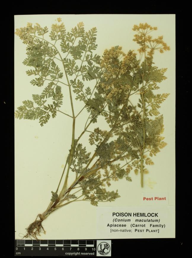 Conium_maculatum