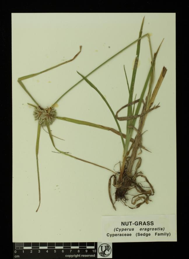 Cyperus_eragrostis