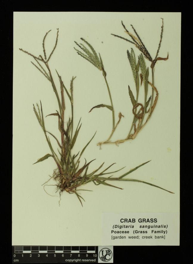 Digitaria_sanguinalis