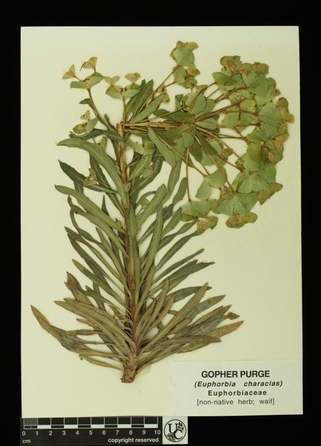 Euphorbia_characias
