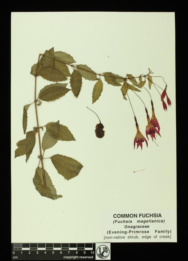 Fuchsia_magellanica
