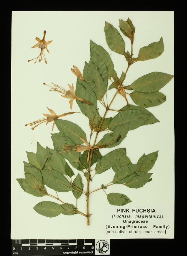 Fuchsia_magellanica_ylw