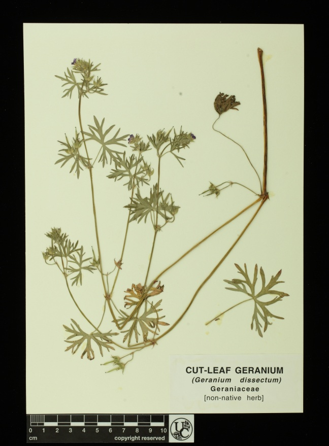 Geranium_dissectum