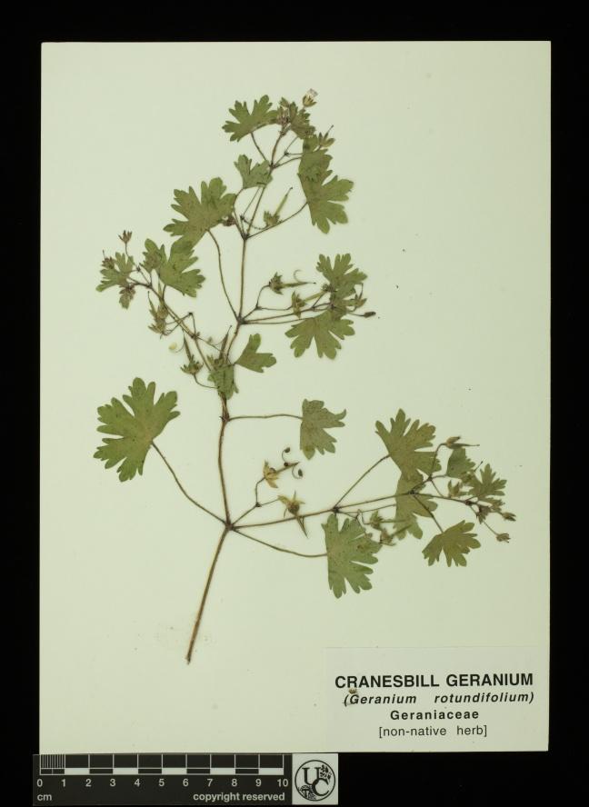 Geranium_rotundifolium