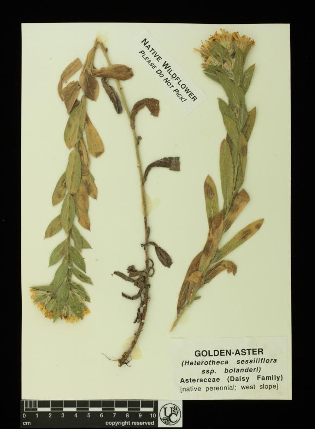 Heterotheca_sessiliflora_ssp_bo