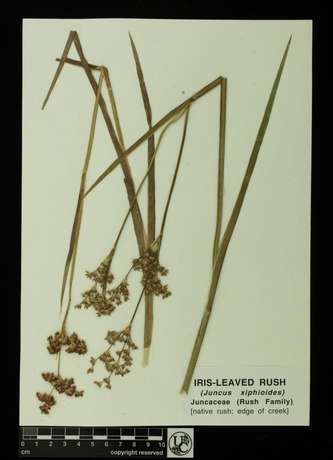 Juncus_xiphidoides