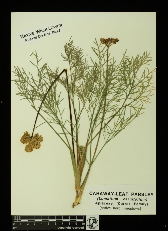 Lomatium_caruifolium