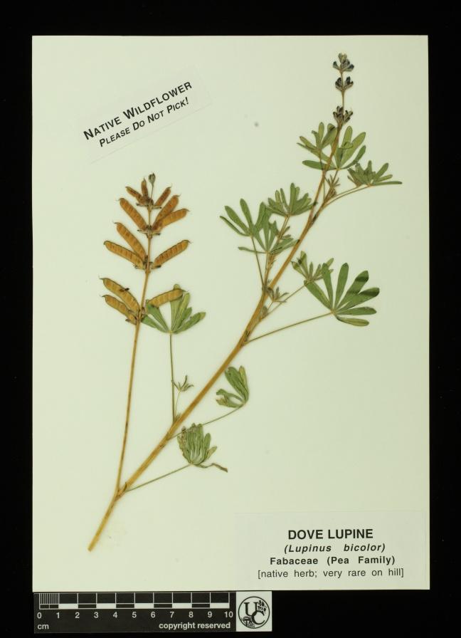 Lupinus_bicolor