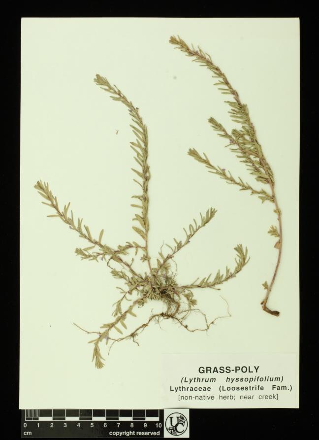 Lythrum_hyssopifolium