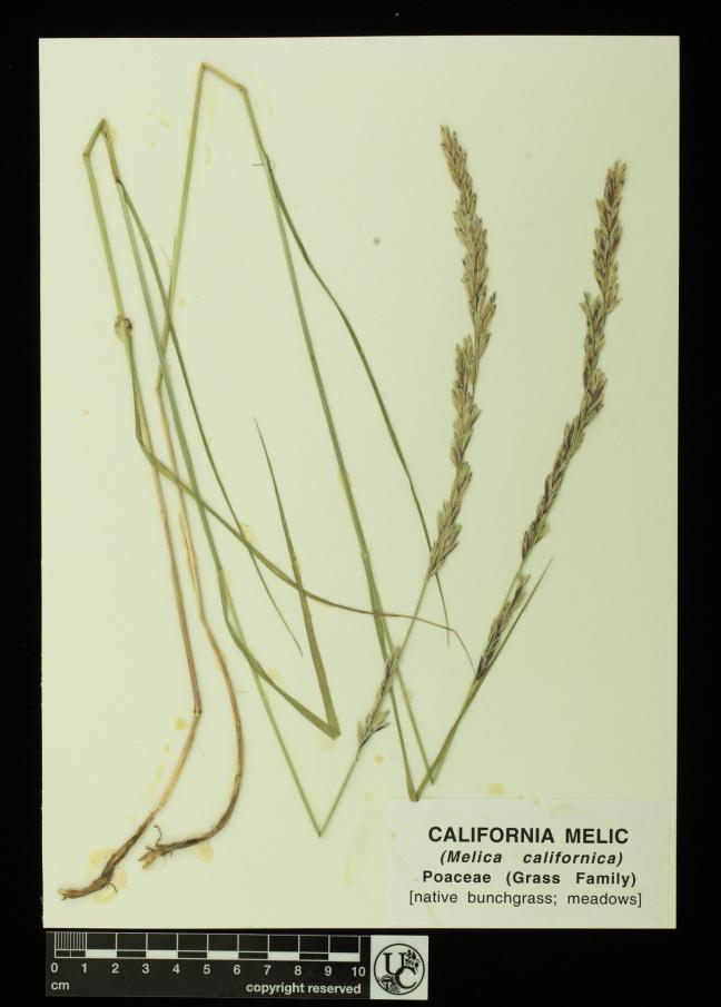 Melica_californica