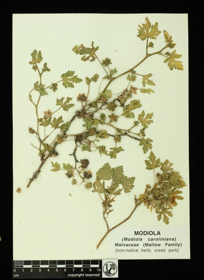 Modiola_caroliniana