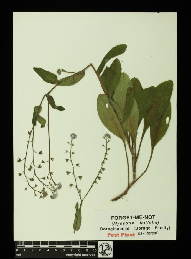 Myosotis_latifolia