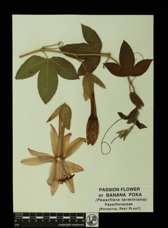 Passiflora_tarminiana