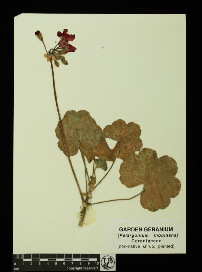 Pelargonium_inquinans