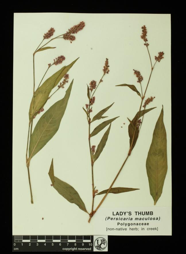 Persicaria_maculosa