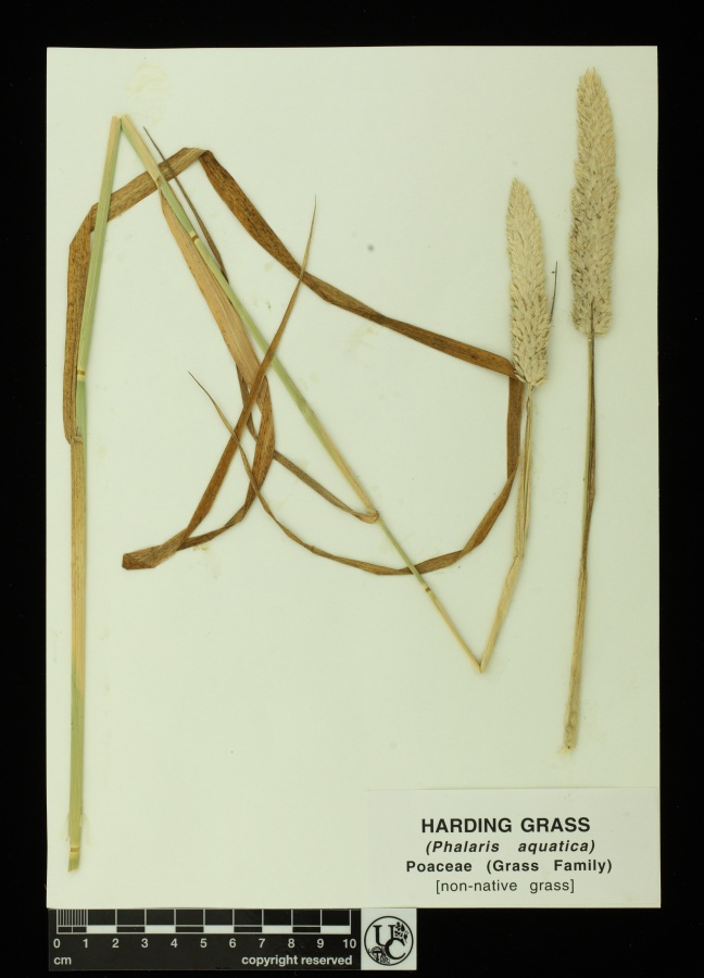 Phalaris_aquatica
