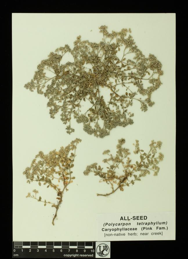 Polycarpon_tetraphyllum