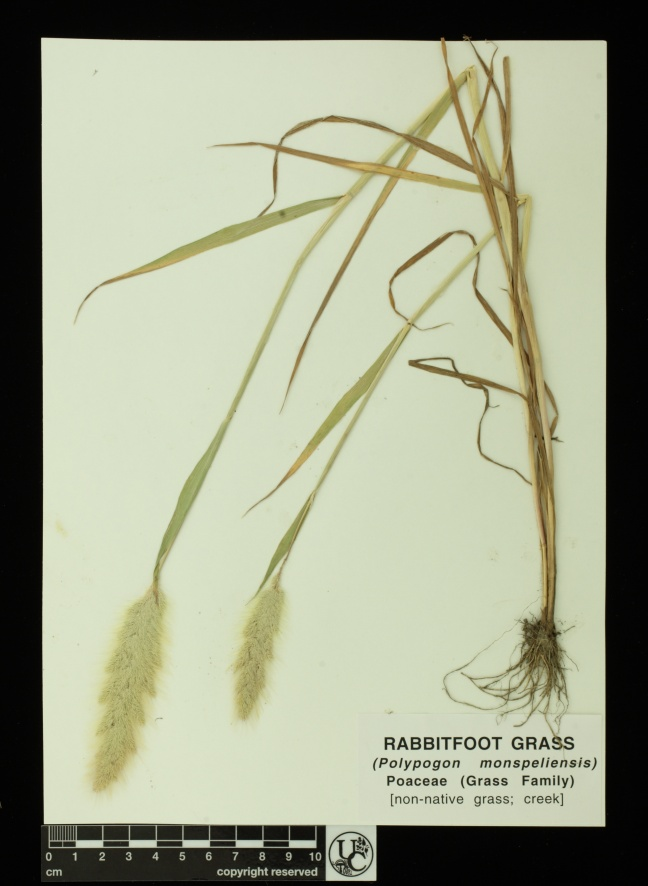 Polygpogon_monspeliensis