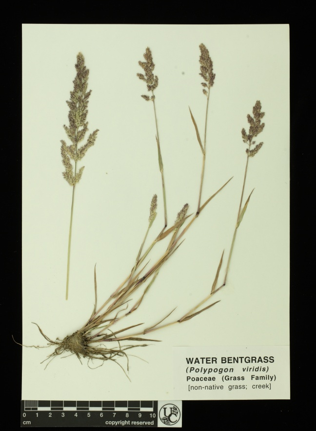 Polypogon_viridis 2