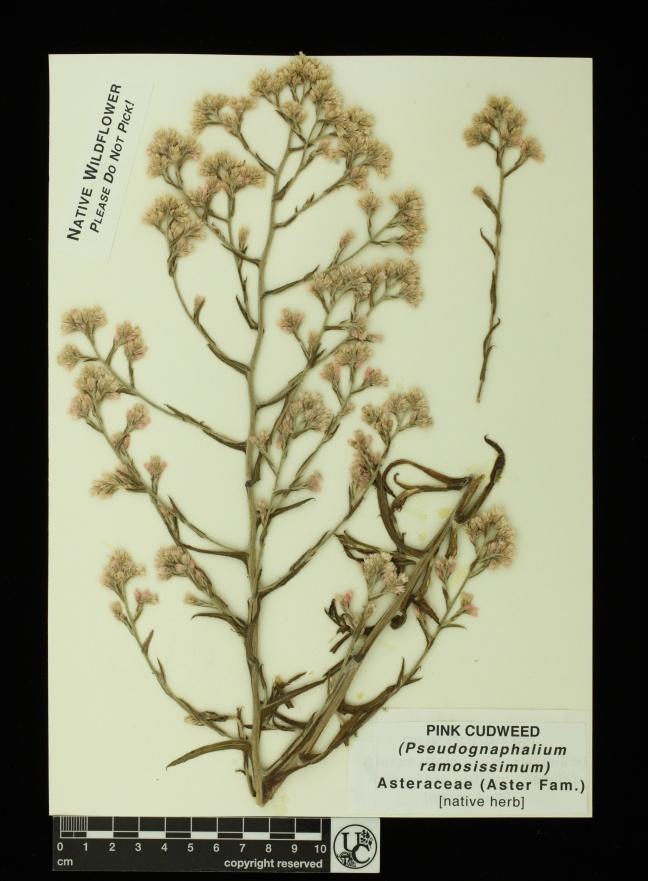 Pseudognaphalium_ramos