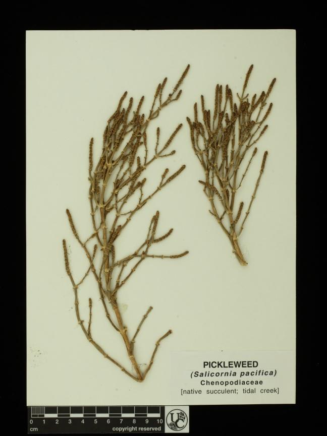 Salicornia_pacifica