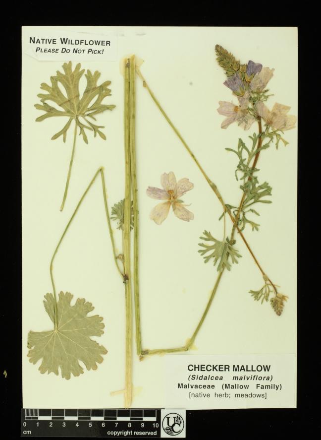 Sidalcea_malviflora