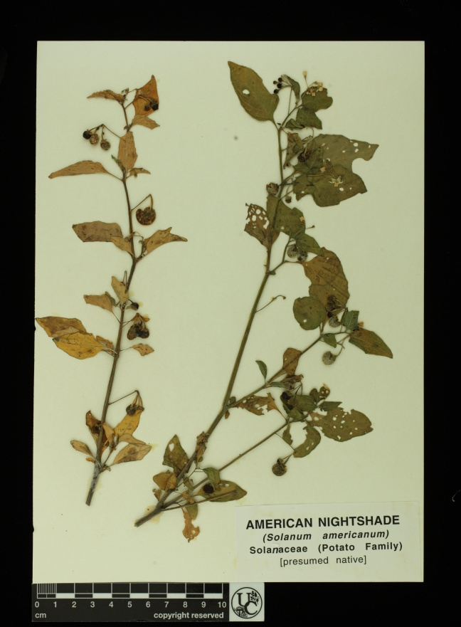 Solanum_americanum2