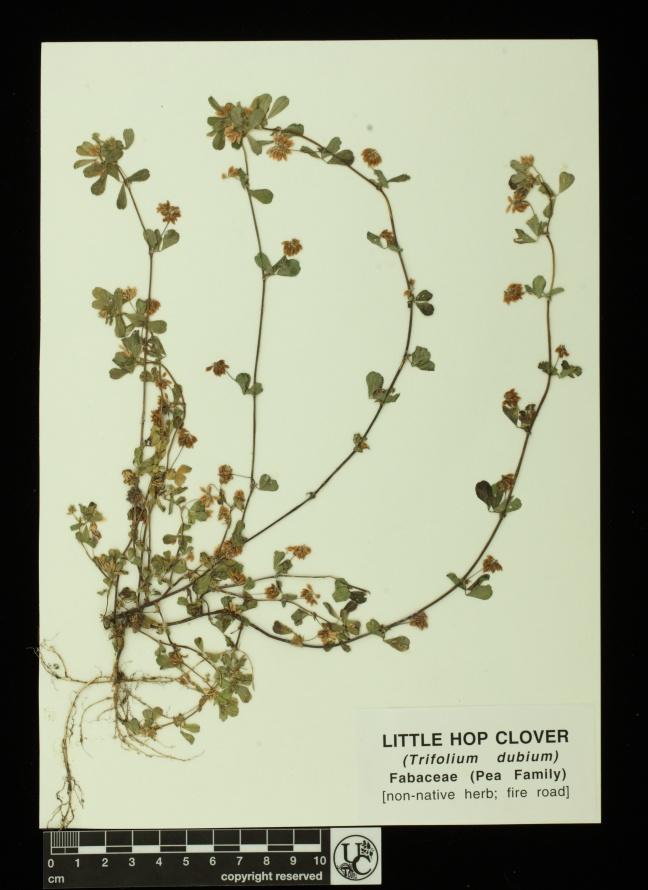 Trifolium_dubium