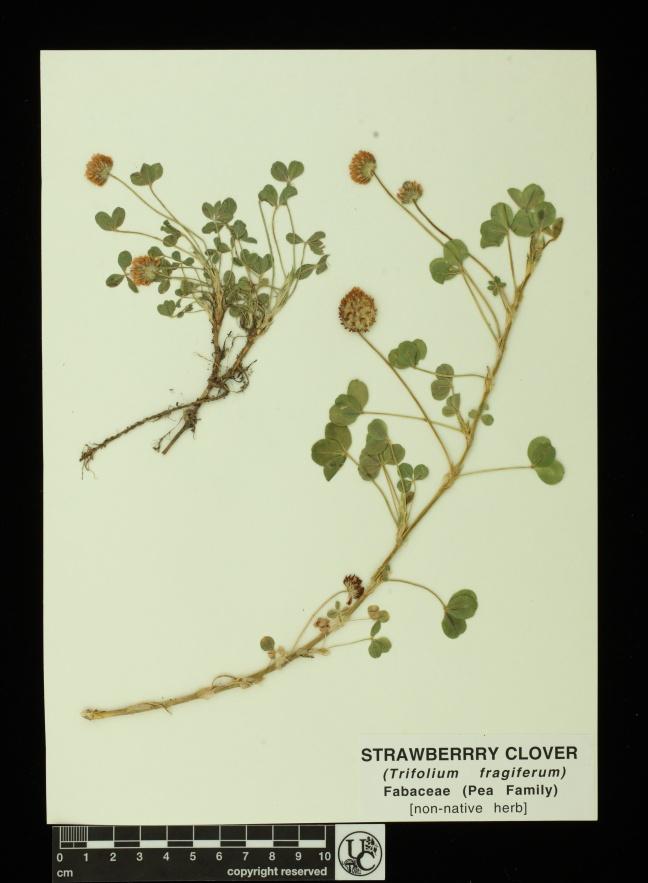 Trifolium_fragiferum