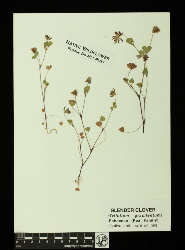 Trifolium_gracilentum