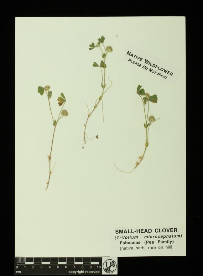 Trifolium_microcephalum