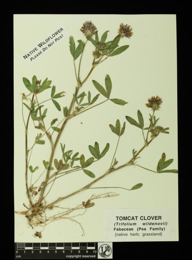 Trifolium_wildenovii