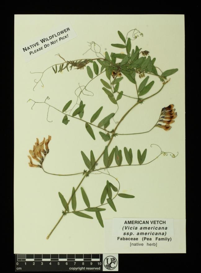 Vicia_americana_ssp_americana
