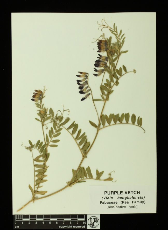 Vicia_benghalensis