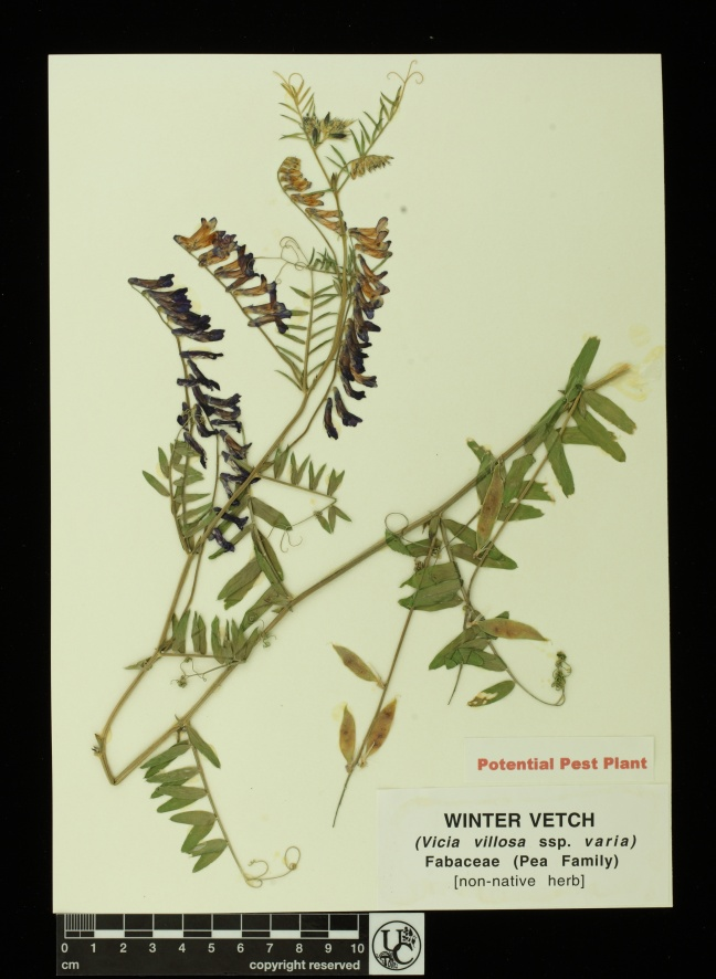 Vicia_villosa_ssp_varia