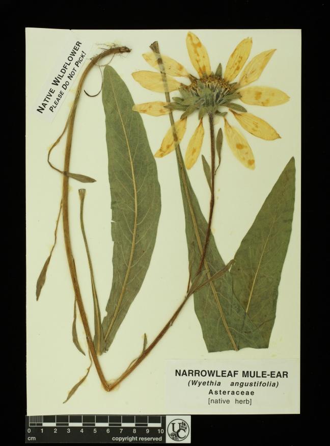 Wyethia_angustifolia