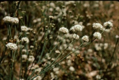 naked buckwheat (Eriogonum nudum var. auriculatum); photo by Barbara Ertter