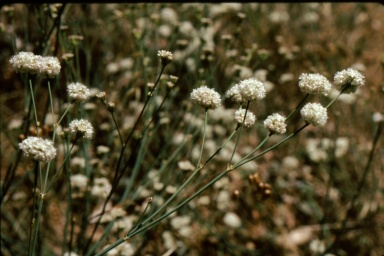 naked buckwheat (Eriogonum nudum var. auriculatum); photo by Barbara Ertter, 1996