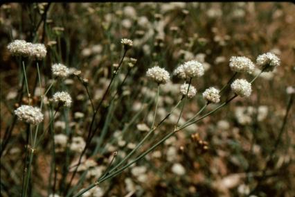 naked buckwheat (Eriogonum nudum var. auriculatum)