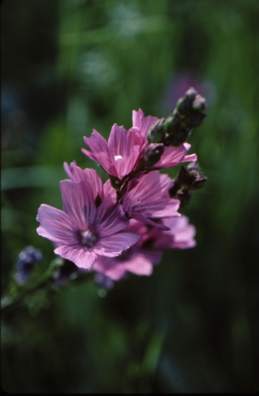 checker mallow (Sidalcea malviflora)