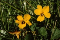 johnny jump up (Viola pedunculata); photo by Barbara Ertter, 1998