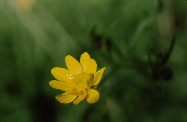 Calif buttercup (Ranunculus californicus); photo by Barbara Ertter, 1998