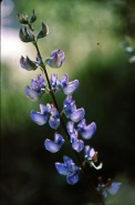 wood lupine (Lupinus latifolius); photo by Barbara Ertter