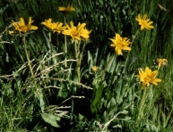 mule's ears (Wyethia angustifolia); photo by Barbara Ertter
