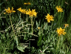 mule's ears (Wyethia angustifolia); photo by Barbara Ertter, 1998