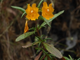 sticky monkeyflower (Mimulus aurantiacus); photo by Pierre La Plant