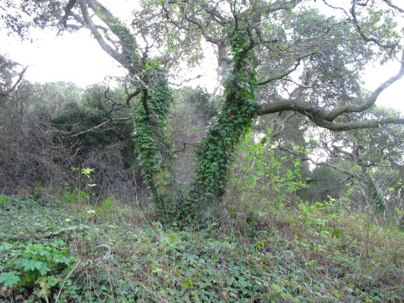 ivy growing up mature oaks