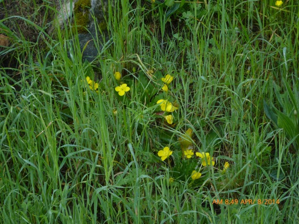 sun cups blooming near rocks in NE meadowAlbany Hill